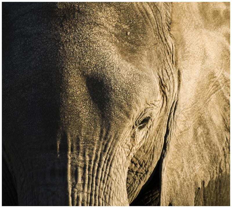 Elefante dorado (Kenya)