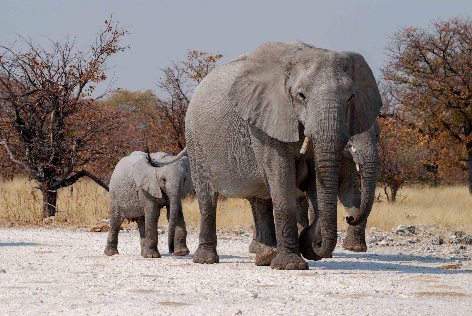 Elefantefamilie im Ethosha Nationalpark