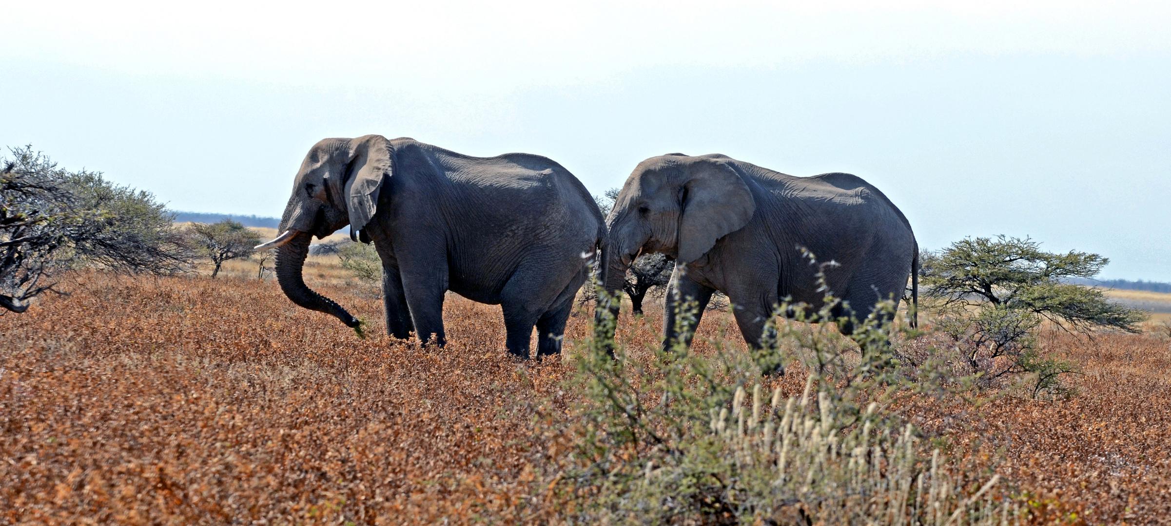 """"""" Elefanten """""""