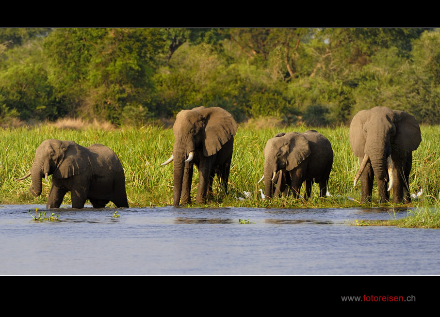 Elefanten am Nil