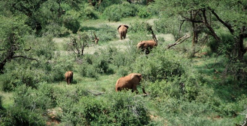 Elefanten im Busch: Ausblick von Il Ngwesi