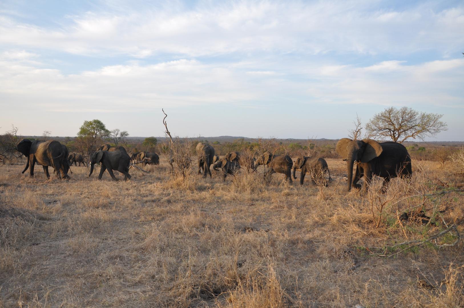 Elefanten im Krüger Nationalpark (Südafrika)