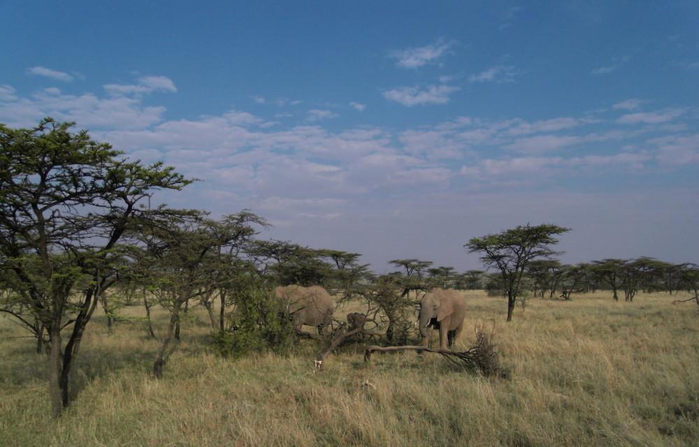 Elefanten in der Mara