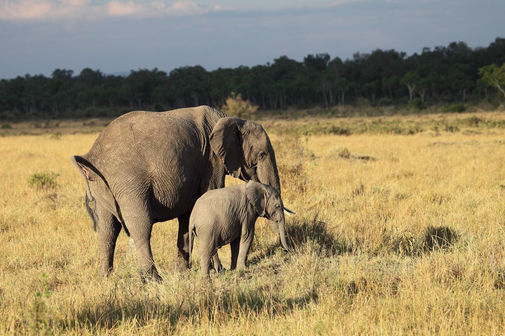 Elefanten in der Masai Mara 2