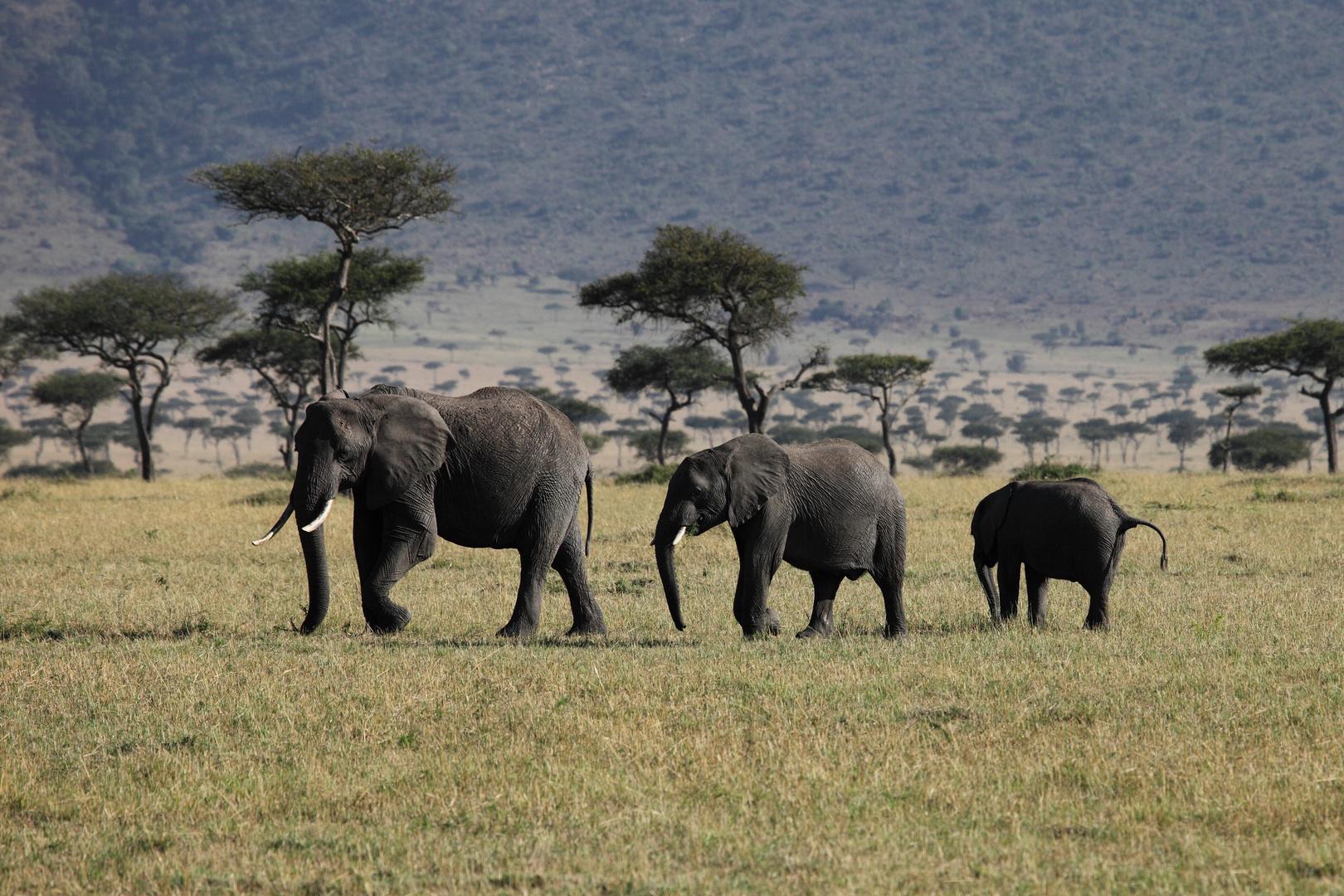 Elefanten in der Masai-Mara 3