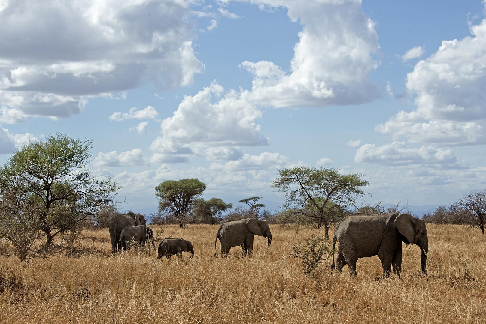elefanten in der savanne foto bild tiere wildlife s ugetiere bilder auf fotocommunity. Black Bedroom Furniture Sets. Home Design Ideas