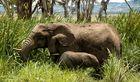 Elefanten in lewa downs
