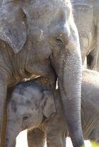 Elefanten Liebe