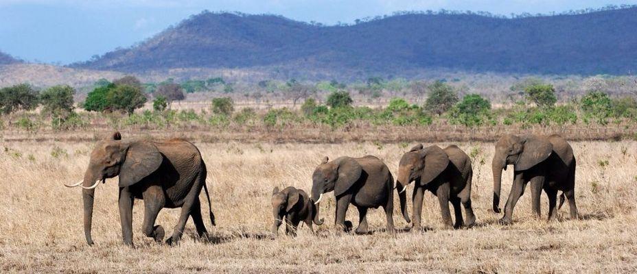 Elefanten, Mikumi Nationalpark, Tansania