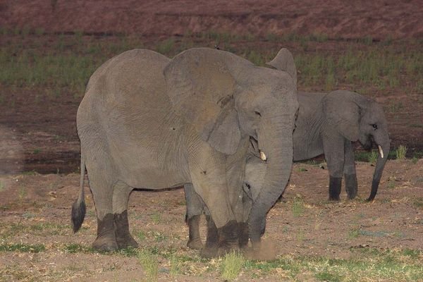 Elefanten nachts bei der Wassersuche