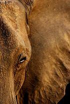Elefanten Porträt