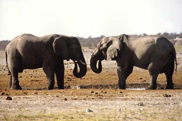 Elefanten - Synchrontanz