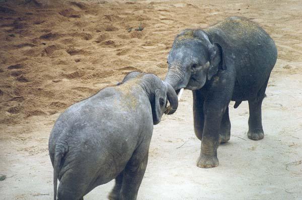 Elefantenbabys beim Spielen