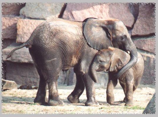 Elefantenbabys im Tierpark Friedrichsfelde beim Spielen