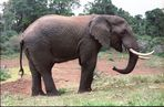 Elefantenbulle am Mount Kenya
