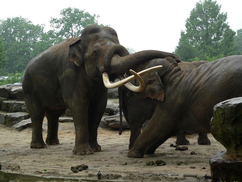 Elefantenbulle Radza im Zoo Emmen, 2006