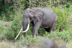 Elefantenbulle unter Beobachtung