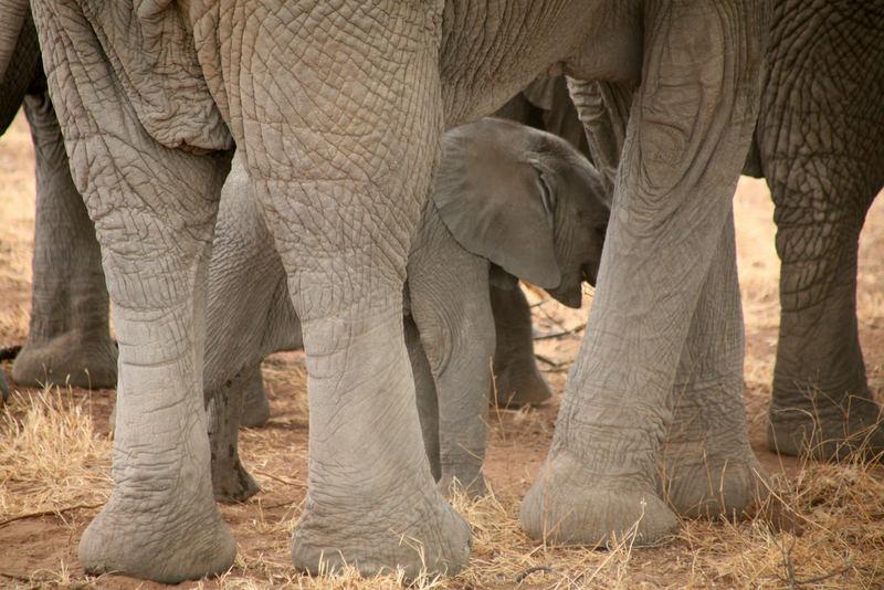 Elefantenfamile Tanzania