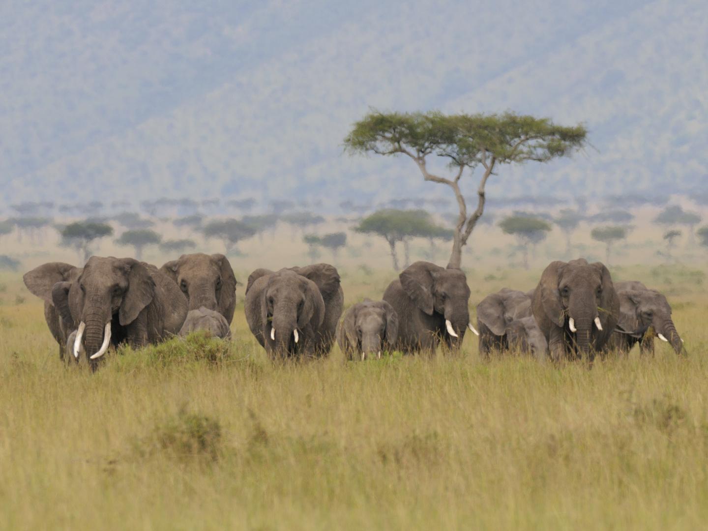 Elefantenfamilie im Anmarsch