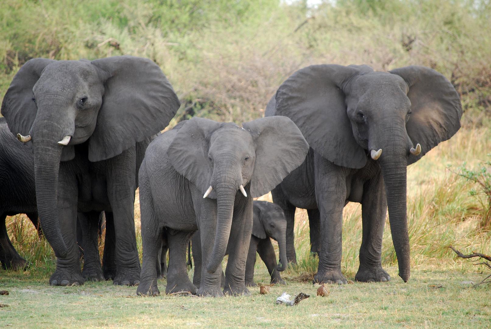 Elefantenfamilie im Bwabwata-Nationalpark