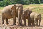 Elefantenfamilie Sri Lanka