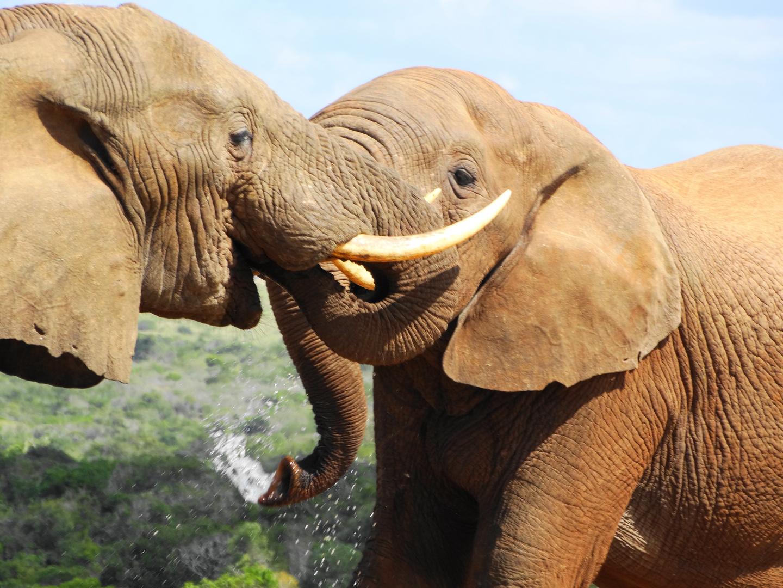 Elefantenfreundschaft