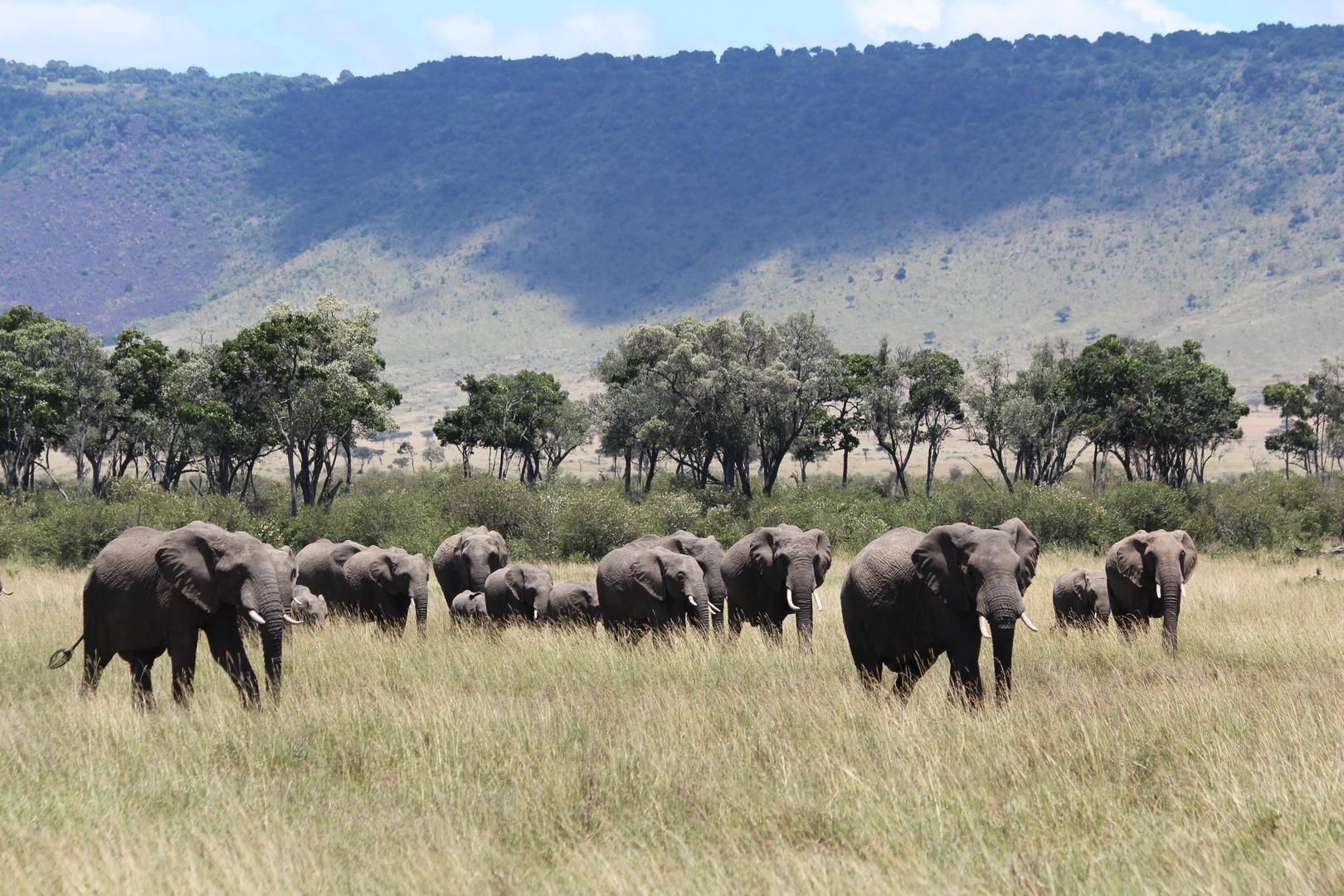 Elefantenherde in der Masai Mara