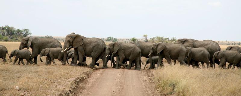 Elefantenherde Tanzania