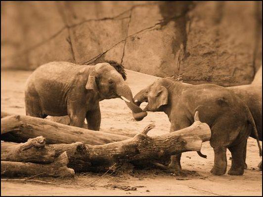 Elefantenjunge beim Kräftemessen