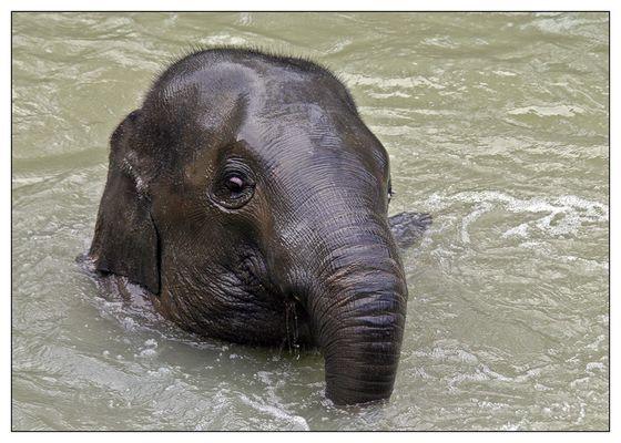 Elefantenkind Voi Nam beim Planschen