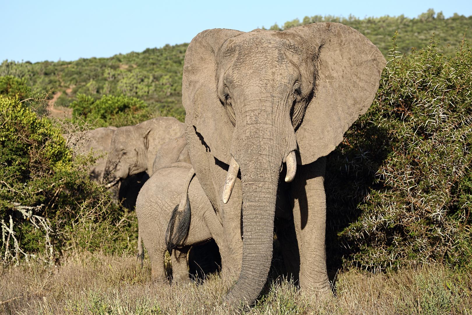 Elefantenkuh fordert Respekt