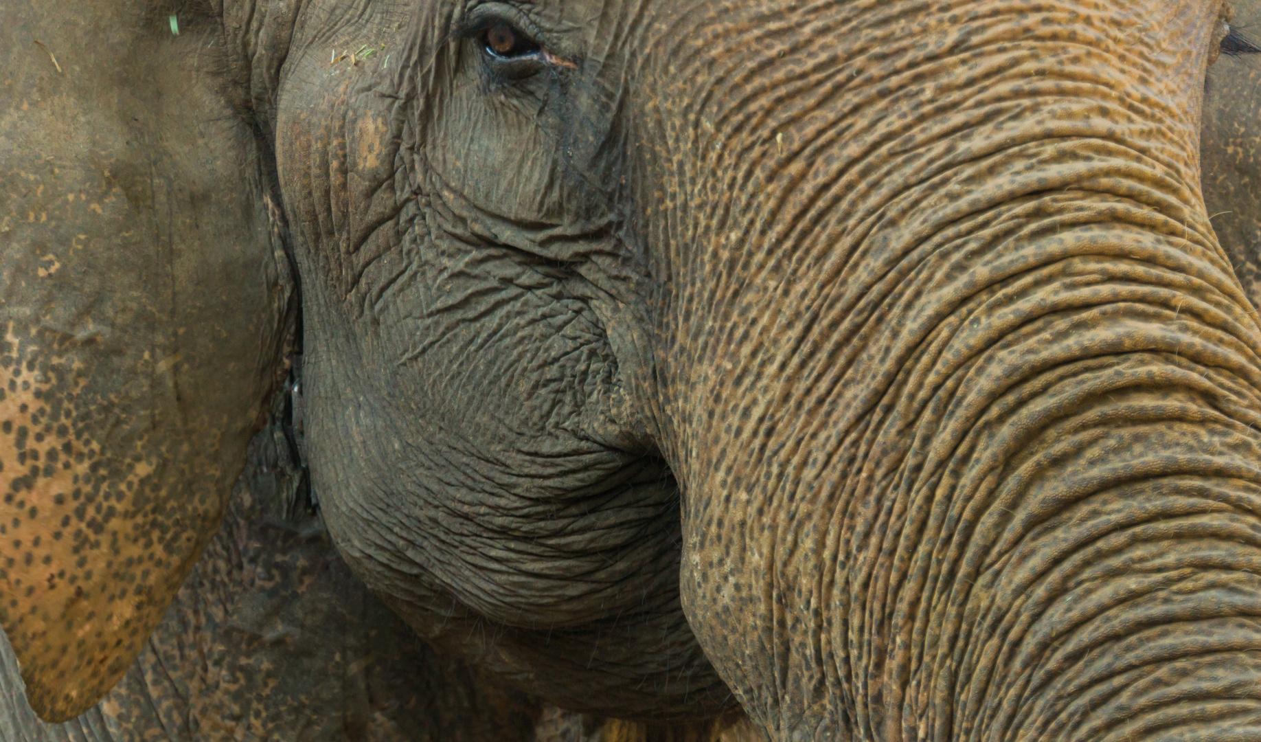 Elefantenkuh - Mae Sa Elefantencamp/Nordthailand
