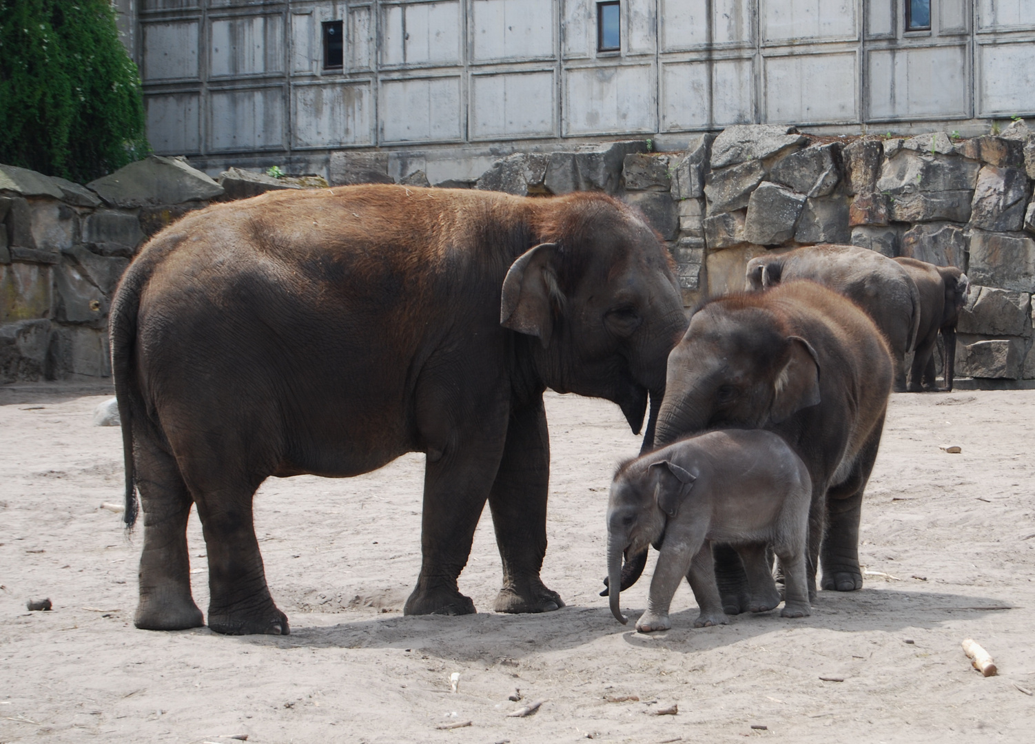 Elefantenkuh mit zwei Kälber im Tierpark Berlin- Friedrichsfelde