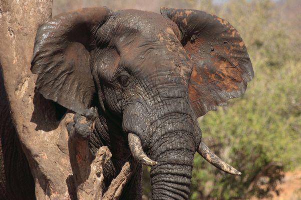 Elefantenmalbaum