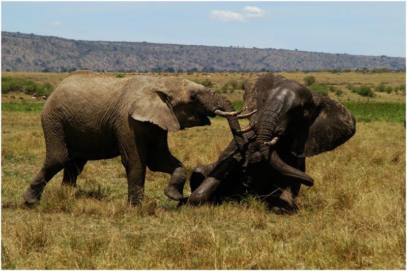 Elefanten_Masai Mara Game Reserve1