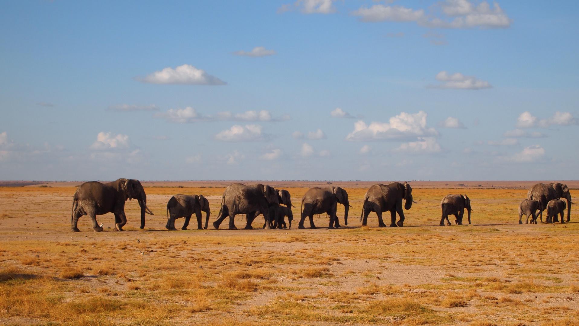 Elefantenparade auf dem Weg nach Hause