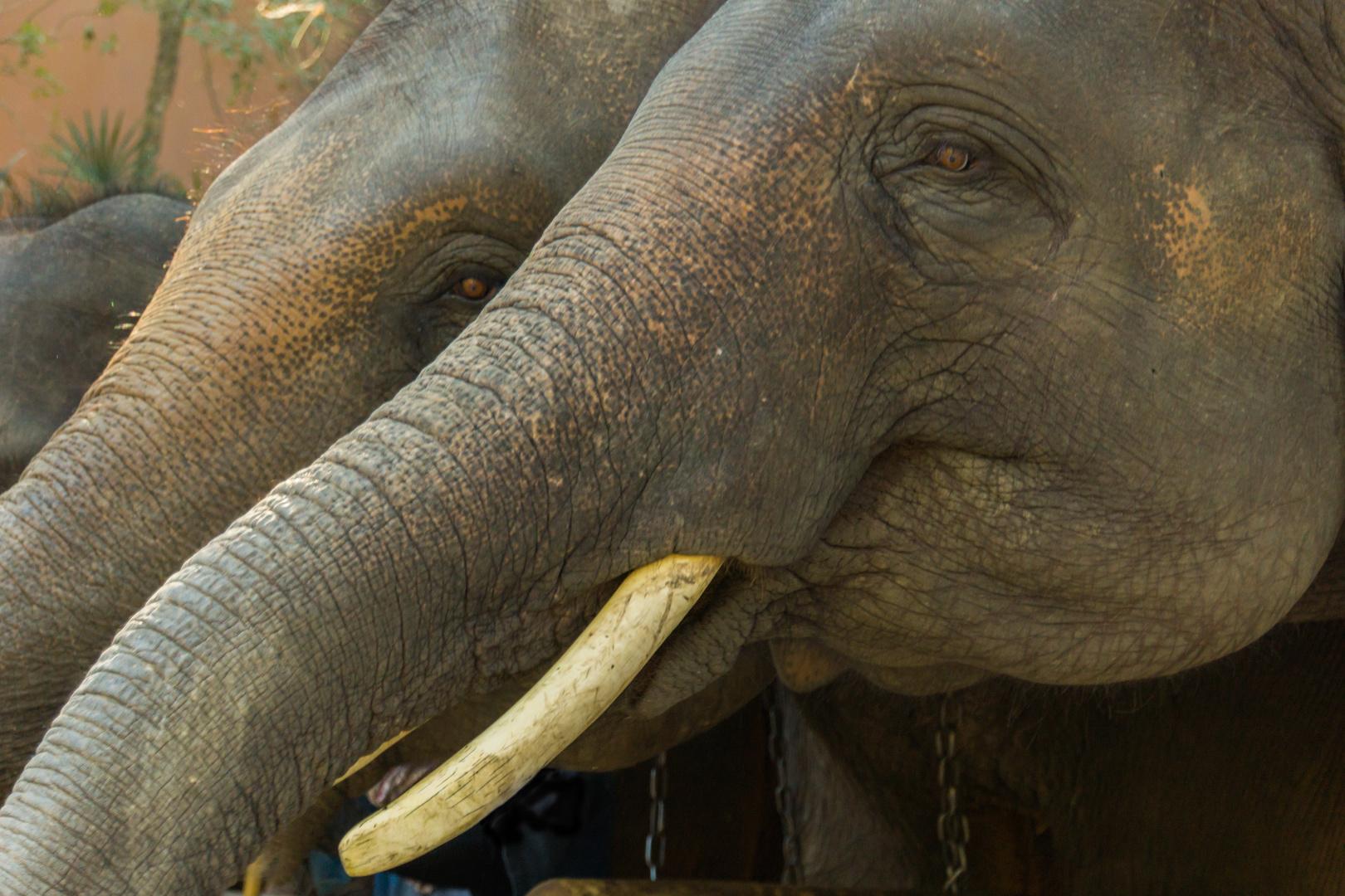 Elefantenparade - Mae Sa Elefantencamp/Nordthailand