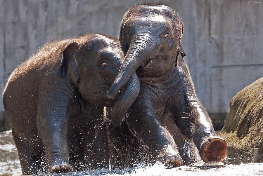 Elefantenschubsen II