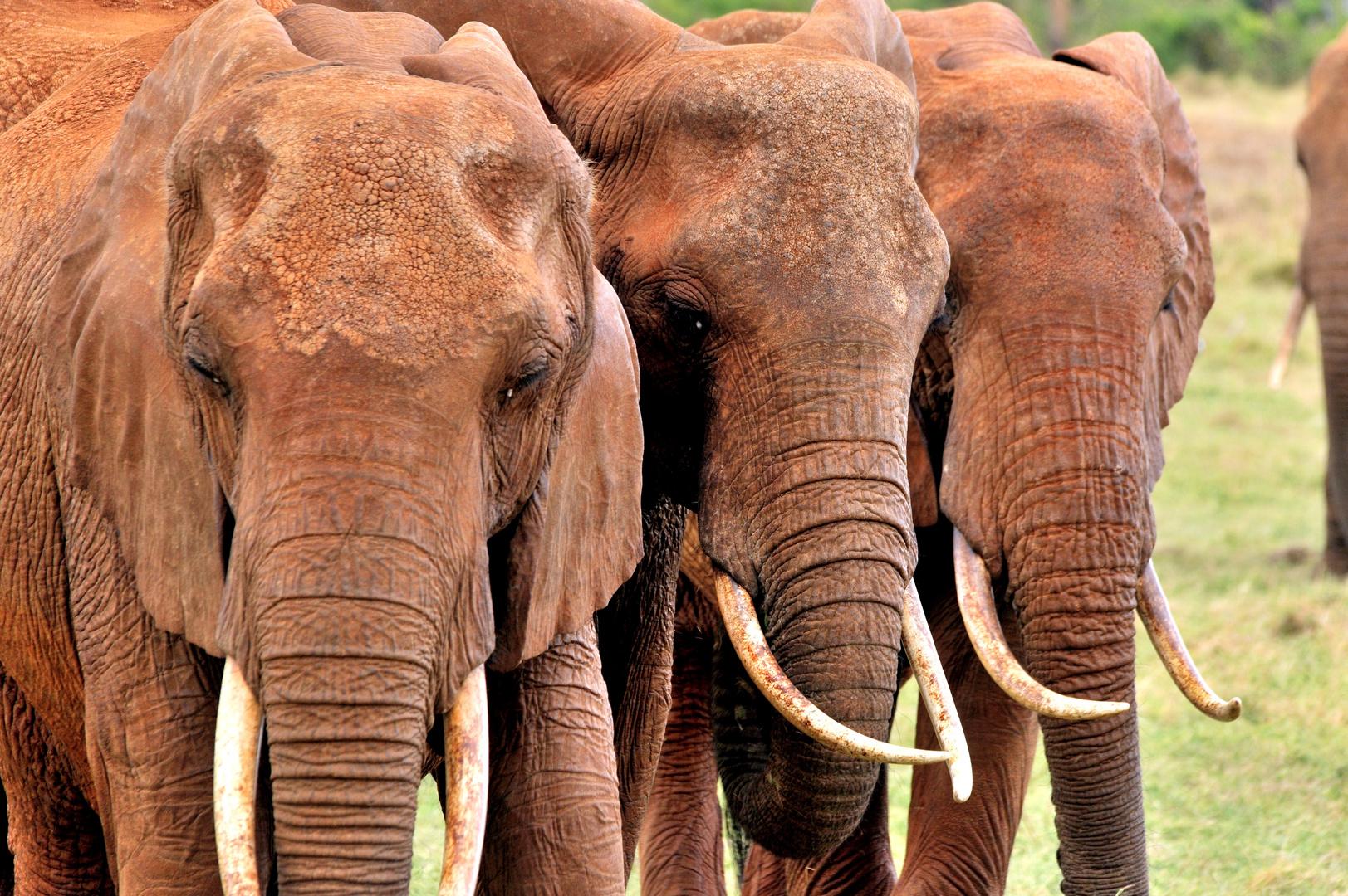 Elefantentrio