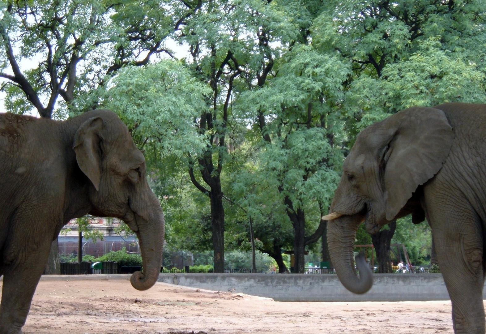 Elefantes enfrentados