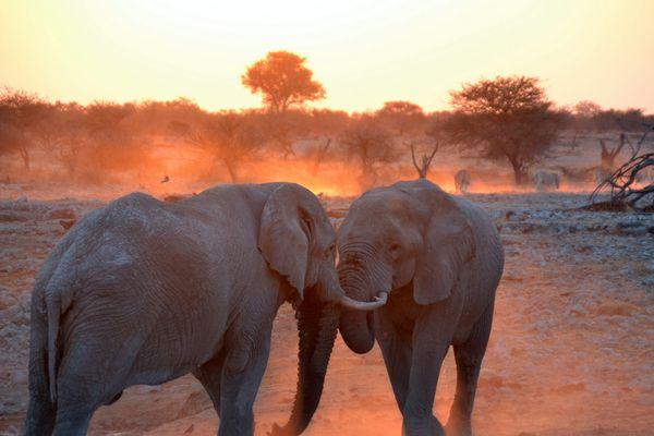 Elefanti al tramonto.