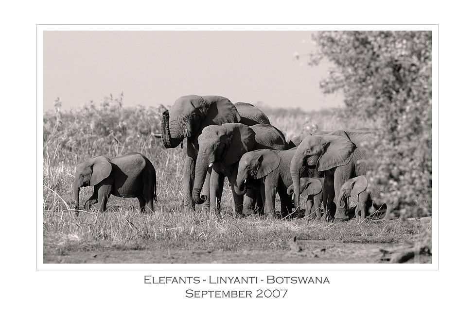 Elefants @ Linyanti Campsite