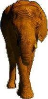 Elefantus