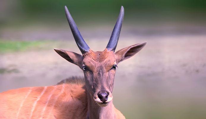 Elen - Antilope !!