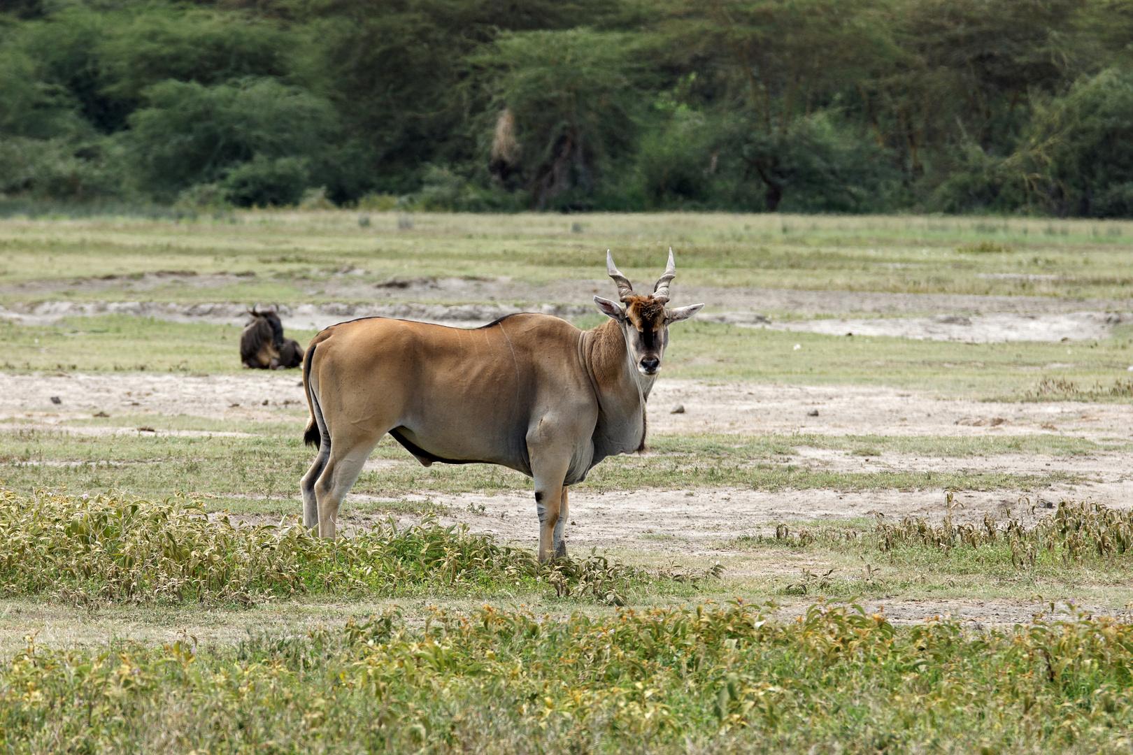 Elenantilope. Ngorongoro Krater, Tansania 2013