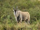 Elenantilope - Taurotragus oryx