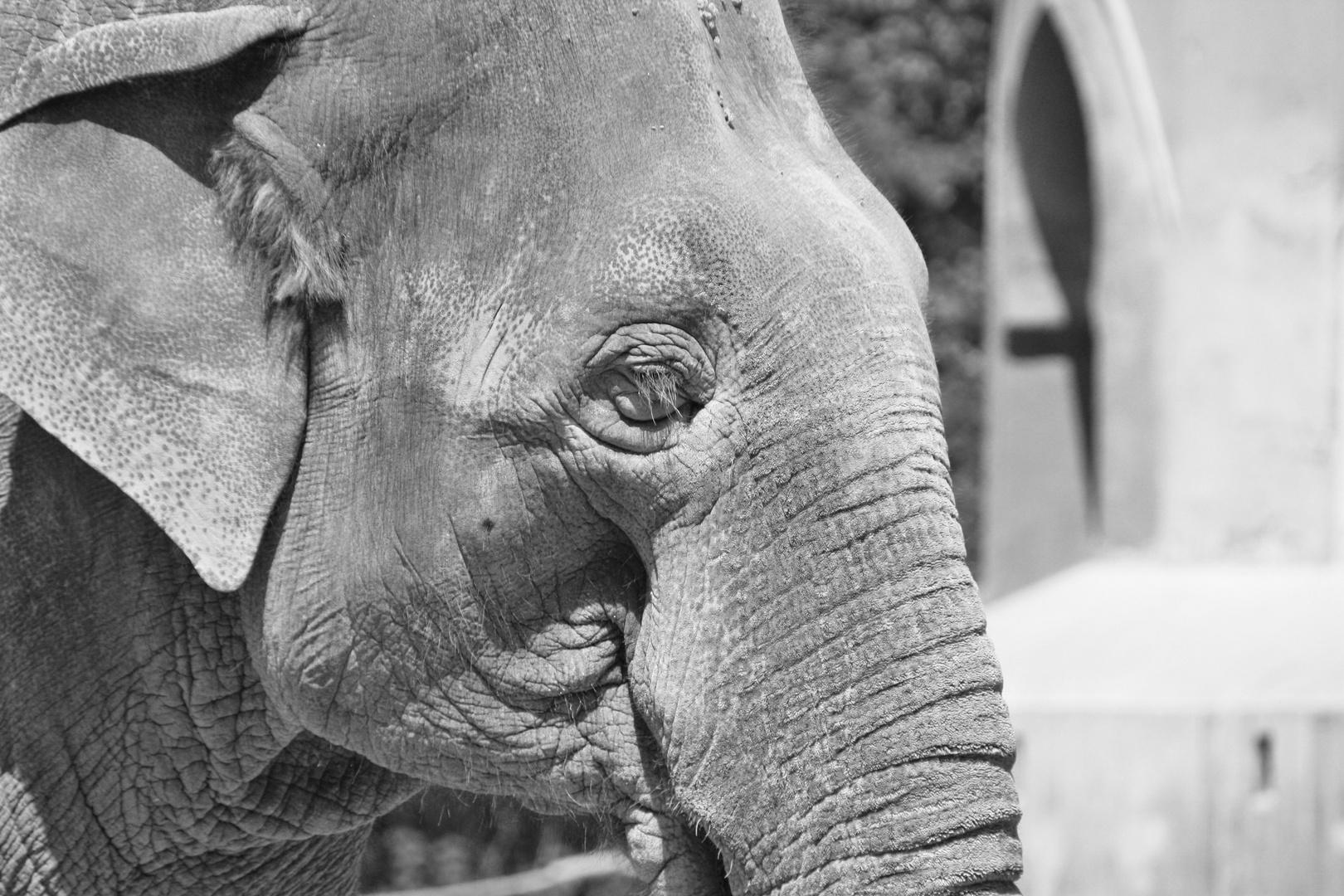 Elenfant ganz nah