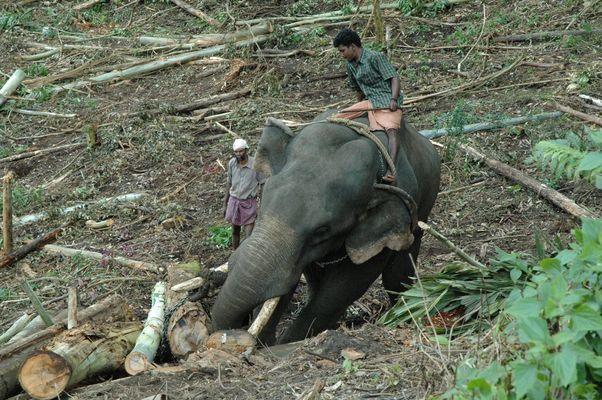 Eléphant au travail dans la région de Munnar Inde