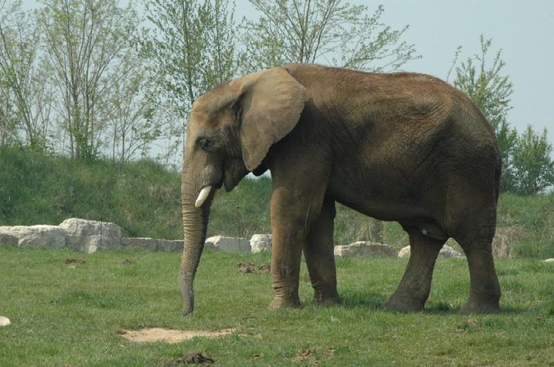 elephant au zoo de beauval