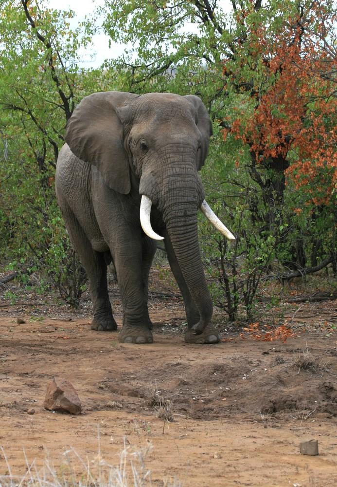 Eléphant d'Afrique (Kruger National Park - Afrique du sud)